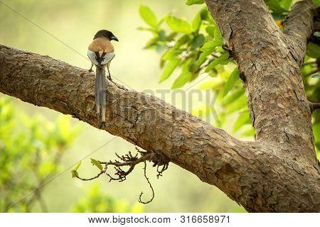 The Rufous Treepie (dendrocitta Vagabunda) Sitting On Branch In Jungle, Native To The Indian Subcont