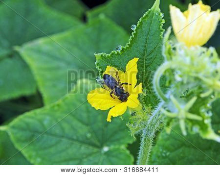 Bee Collects Nectar From A Yellow Cucumber Flower In A Greenhouse