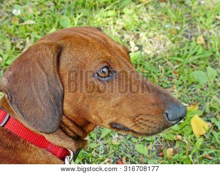Dachshund (him. Dachshund) -- Hunting Dog Breed, Characterized By Short Legs. Dachshund - The Oldest