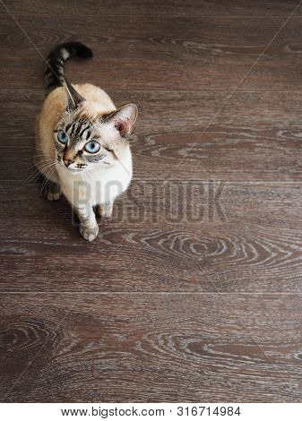 Hungry Tai Cat With Blue Eyes Demanding Food. Domestic Pets Care