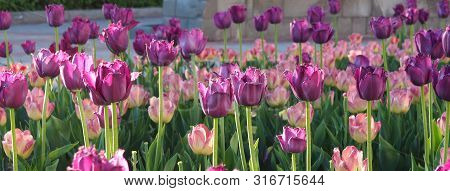 Beautiful Purple And Pink Tulips Blooming At The Park In Spring Time Under Glowing Sun. Floral Backg
