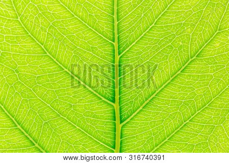 Tree Leaf Nature Background. Close Up Background Nature Of Tree Leaf. Tree Leaf For Design. Nature T