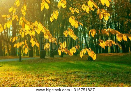 Fall background - yellowed tree branches with golden foliage on the background of city park fall alley in sunny evening. Picturesque fall park scene