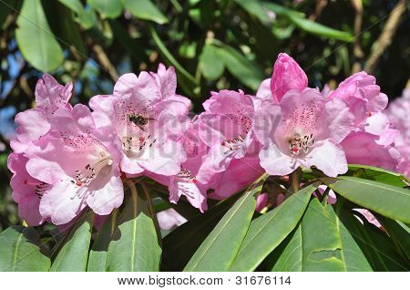 early rhododendron with bee