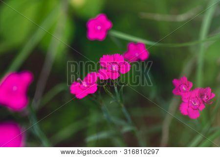 Beautiful Flower Dianthus Deltoides On Green Background. Pink Flower Maiden Pink, Spink, Carnation H