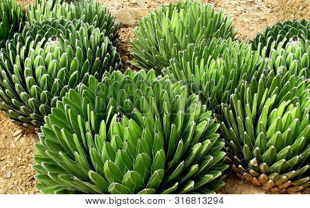 Agave Plant Cactus Field. Agave Victoriae-reginae (queen Victoria Agave, Royal Agave) Small Species