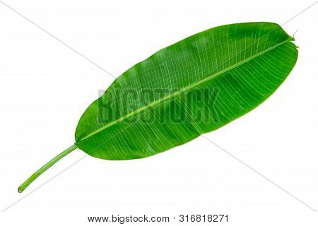 Banana Leaf Isolate On White Background With Clipping Path Included. Green Banana Leaf Texture Backg