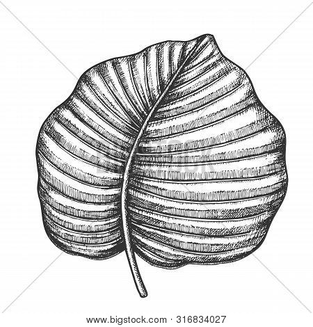 Anthurium Regale Tropical Leaf Hand Drawn Vector. Floral Frond Nils Leaf Of Evergreen Plant. Detail
