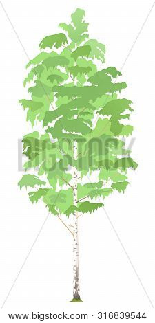 One Green Tall Birch Tree Illustration, Deciduous Hardwood Tree In Side View Isolated, Tall Slender