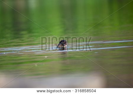 Smooth Coated Otter Or Lutrogale Pers Mirror Image Playing In Green Calm Water Of Ramganga River At