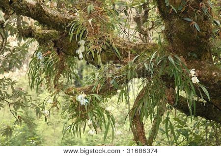 Tree Branches Covered With Orchids And Mosses