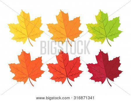 Set Of Autumn Leaves On White. Autumn Background With Leaves. Botanical Forest Plants. Maple Leaf In