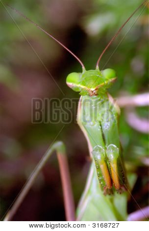 A front close-up on a praying mantis in a waiting (for prey) stance. poster
