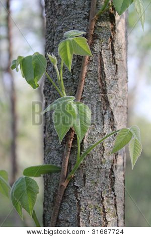 Poison ivy on a tree