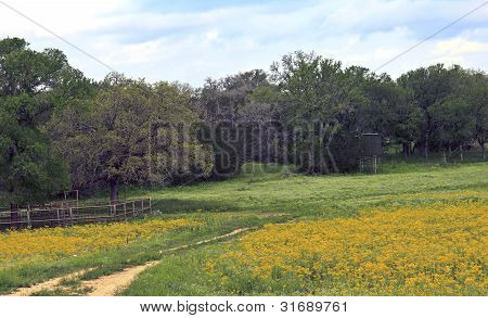 Yellow Flowers In A Field