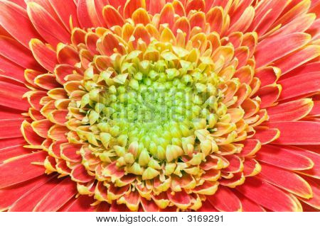 Red And Yellow Gerbera