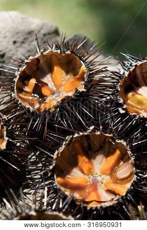 Fresh Sea Urchins, Ricci Di Mare, On A Rock, Close Up. A Typical Dish Of Salento, Puglia, Is Eaten R