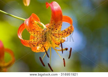 A Wild Oragne Tiger Lily Outside