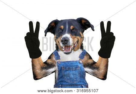 Dog In Jeans Dungarees. Isolated On White Background
