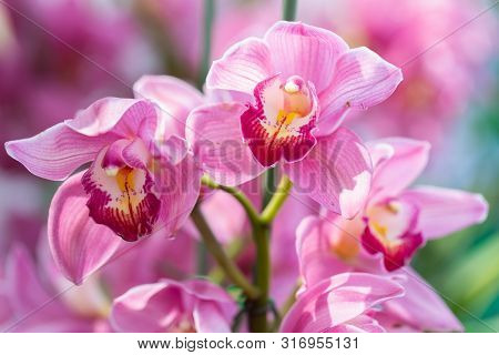 Cymbidium Orchid. Orchid Flower In Orchid Garden At Winter Or Spring Day. Orchid Flower For Postcard