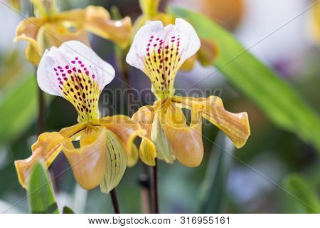 Paphiopedilum Orchid. Orchid Flower In Orchid Garden At Winter Or Spring Day. Orchid Flower For Post