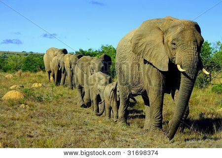 A herd of african elephant in Eastern Cape,South Africa