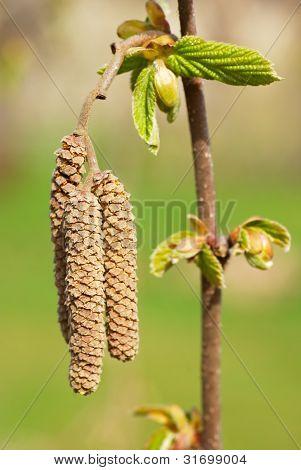 blooming hazelnut