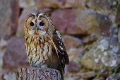 Portrait of a tawny owl (strix aluco) poster
