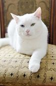 White cat with different eyes lying on a chair poster