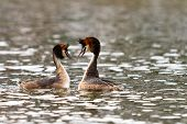 great crested grebe courting in the water poster