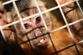 monkey in zoo or laboratory in cage. abe behind bars poster