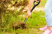 Woman gardener digs ground soil with shovel for removal withered dried thuja tree from her backyard. Yard work around the house poster