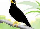 Common Hill Myna poses on a branch is beautiful poster