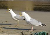Two seagull birds squawking with beaks wide open, St. Ives Cornwall UK. poster