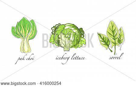 Set Of Salads And Leafy Vegetables, Pak Choi, Iceberg Lettuce, Sorrel Hand Drawn Vector Illustration
