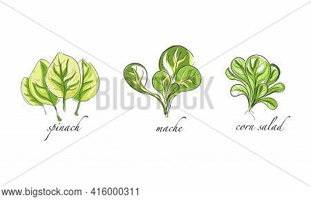 Set Of Salads And Leafy Vegetables, Spinach, Mache, Corn Salad Hand Drawn Vector Illustration