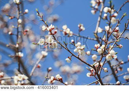 Sakura Branch Blossom Branch In Bloom, Close-up. Cherry Blossom Branch On Blue Sky Background.