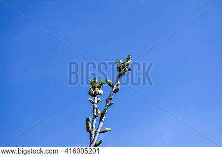 Branch Of Gooseberry With Swollen And Blooming Buds. Early Spring. Beginning Of Juice Movement. Prep