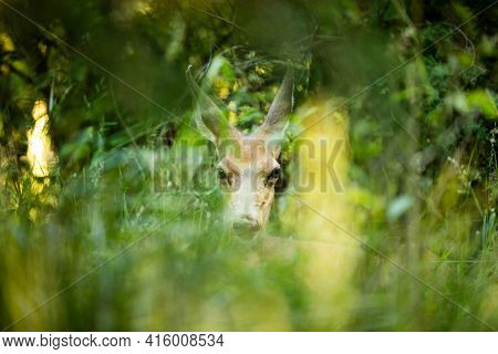 Doe Mule Deer Trying To Hide Within The Grass From Hunters