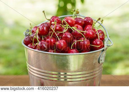 Freshly Picked Ripe Cherries In A Bucket. Ripe Red Cherries In The Metal Bucket.