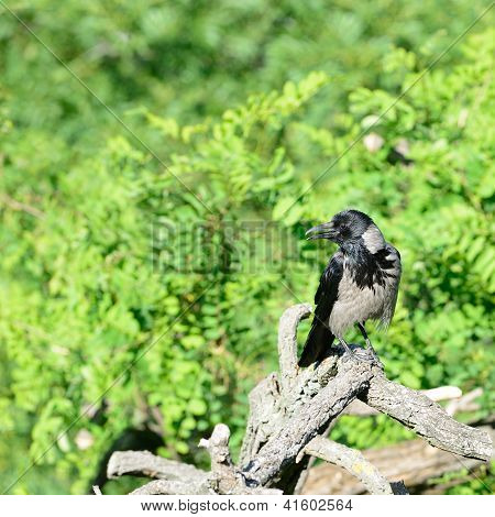 A Hooded Crow (Corvus cornix - sometimes called Hoodiecrow) standing on branch in summer. poster