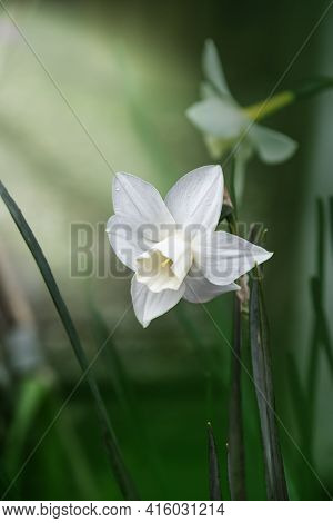 White Flowers. Narcissus Is A Genus Of Predominantly Spring Flowering Perennial Plants Of The Amaryl