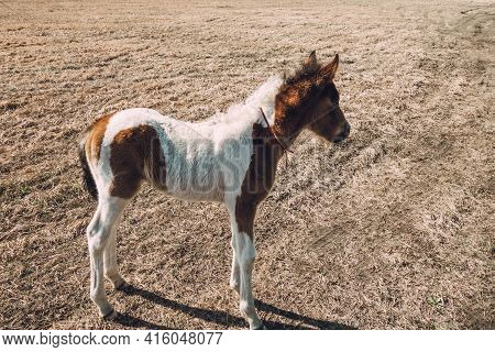 A Beautiful Curious Foal Stands On A Country Road In A Field. A Cute Foal Of Interesting Color For A