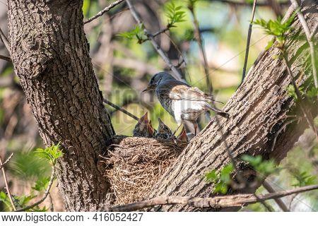 Thrush Fieldfare, Turdus Pilaris, In A Nest With Chicks. The Fieldfare With Chicks In The Wild Natur