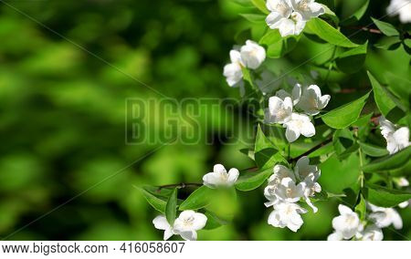 Beautiful blossoming branch of jasmine