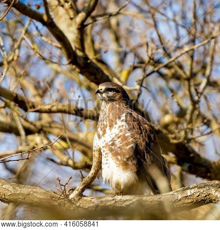Buzzard In The Forest. Sitting On A Branch. Wildlife Bird Of Prey, Buteo Buteo. Detailed Feathers In