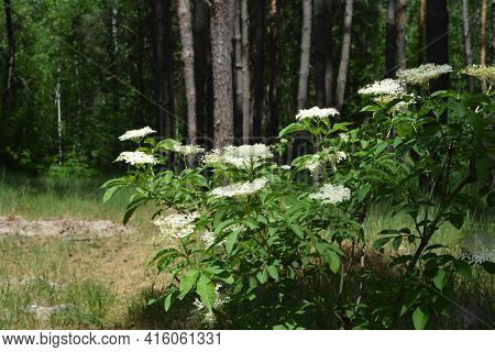 A Close-up On A Blooming Sambucus, Common Elderberry Plant With Clusters Of White Blossom, Elderberr