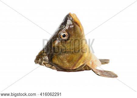 Carp Head Isolated On White Background. Fresh Freshwater Carp