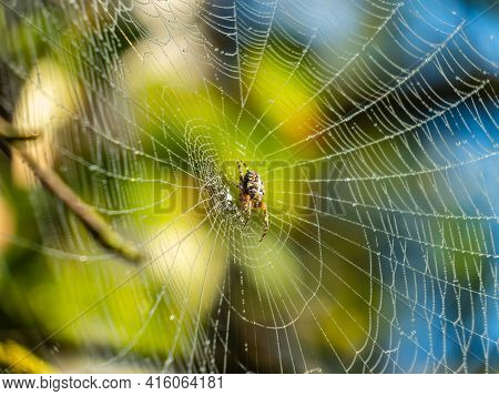 European Garden Spider, Cross Orb-weaver (araneus Diadematus Clerck) With Water Drops In Early Foggy