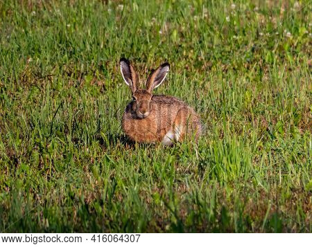 The European Hare Or Brown Hare Sitting In The Grass Surrounded With Greenery Early In The Morning I